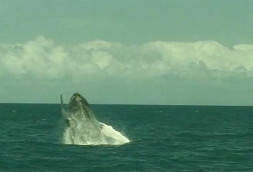 Passeio Baleia Jubarte