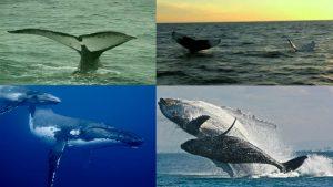 Passeio de Observação das Baleias Jubarte